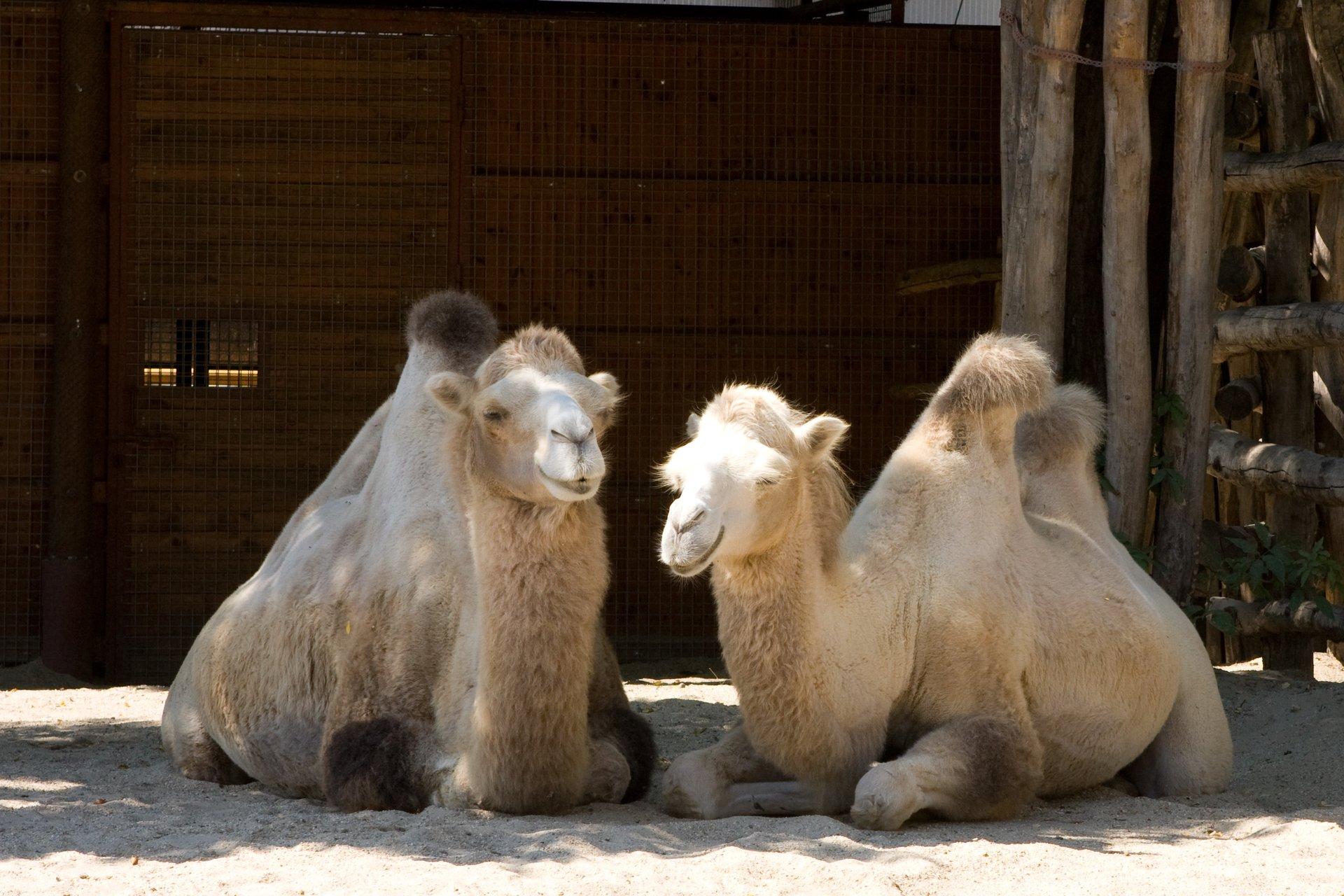 Wielbłądy w budapesztańskim ZOO