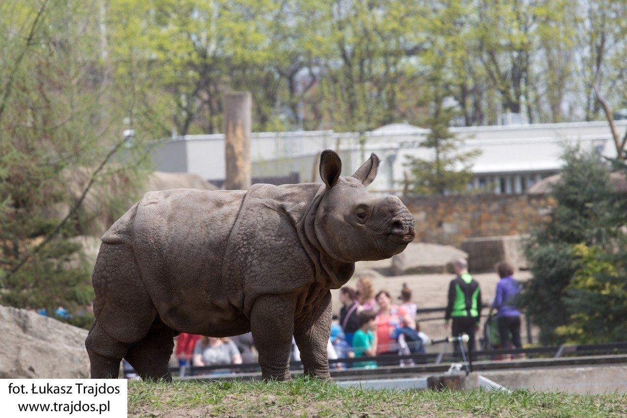 Byś - urodzony w Warszawie nosorożec- Warszawskie ZOO