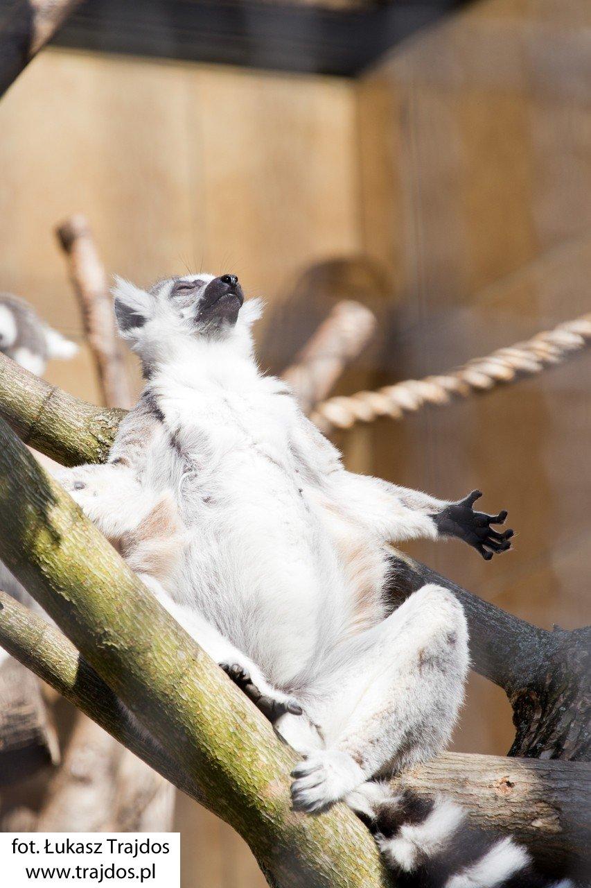 Lemur łapiący promienie słońca - Warszawskie ZOO